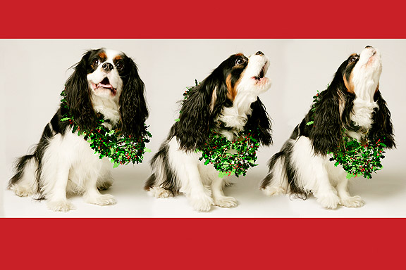 King Charles Spaniel Christmas Card