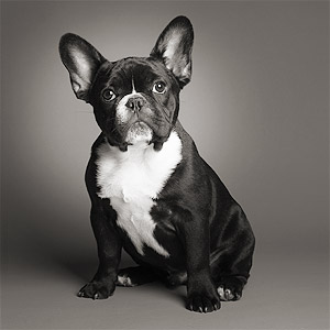 Iconic photo of four-month old Frenchie French bull dog black with white chest