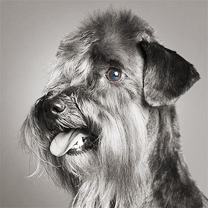 Studio portrait of show dog