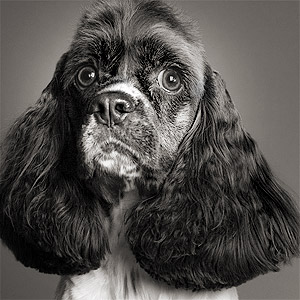 Studio portrait of American Cocker spaniel
