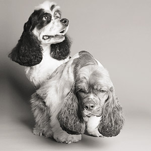 Studio portraits of two American Cocker spaniel brothers