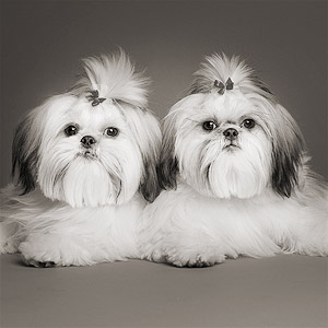 Studio portrait of two Shih-tzus on gray background