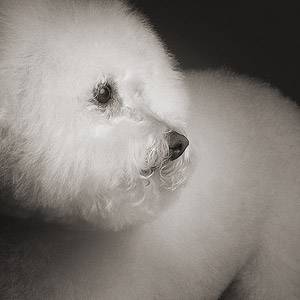 Older Bichon de Frise studio portrait on dark background