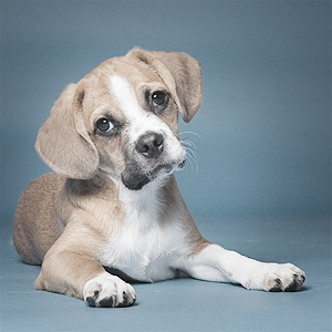 Melt your heart cute picture of Puggle puppy on blue background