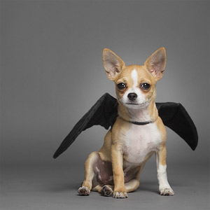 Funny portrait photo of Chihuahua dog wearing bat wings in studio