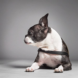 Portrait of older Boston terrier dog lying down in studio