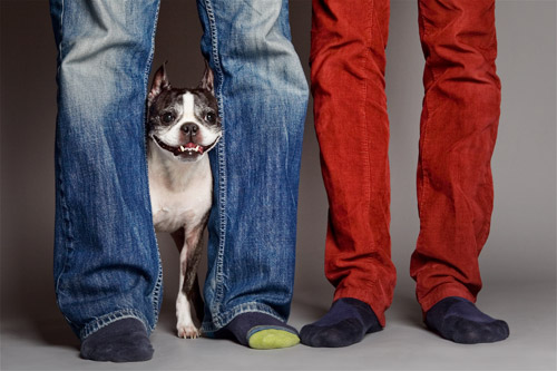 Studio portrait of Boston terrier smiling behind two men's legs