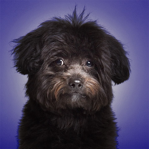 Studio picture of super cute black poodle puppy on purple background