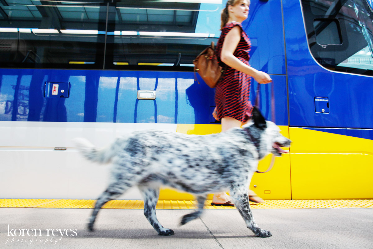 Portrait of an Australian cattle dog with Minneapolis Light Rail train in the background in the North Loop, downtown Minneapolis