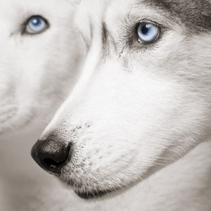 Iconic close-up of two huskies with blue eyes