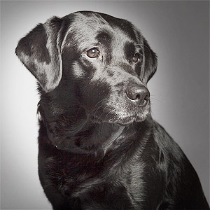 Beautiful gentle black lab portrait