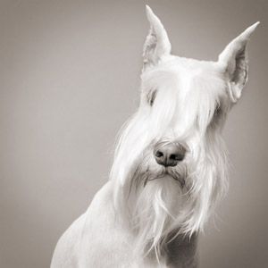 Iconic black and white photo of show dog white Schnauzer