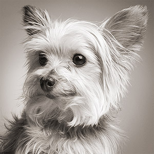 Headshot of cute Yorkie terrier