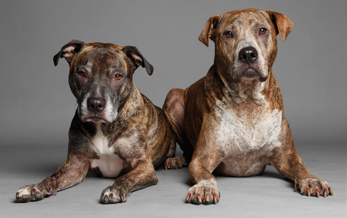 Two brindle pit bulls pose for Koren Reyes photography