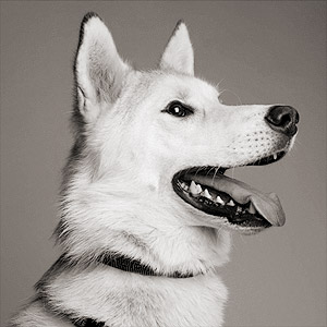 White shepherd mix dog headshot